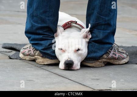 Staffordshire bull terrier hund schlafen auf eine braune for Braune ledersessel