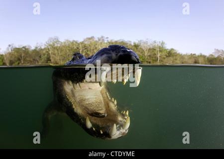Brillentragende Brillenkaiman, Caiman Crocodilus Rio Baia Bonita, Bonito, Mato Grosso do Sul, Brasilien - Stockfoto