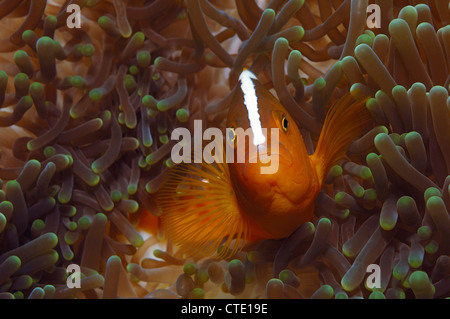 Stinktier Anemonenfische, Amphiprion Sandaracinos, Bunaken, Nord-Sulawesi, Indonesien - Stockfoto