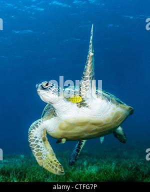 Eine grüne Schildkröte Wellen ein Flipper in die Kamera, wie es oben flach Seegras im ägyptischen Roten Meer schwimmt - Stockfoto