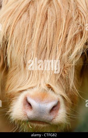 Vertikale Nahaufnahme von Highland Kuh-Kopf mit Haaren über Gesicht - Stockfoto