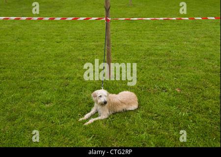 Hund wartet für die Beurteilung bei kleinen ländlichen Land Show am Bauernhof bei Cwmdu Powys Wales UK starten - Stockfoto