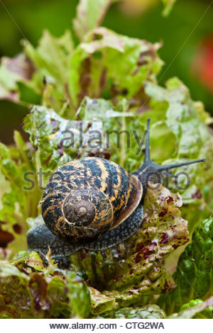 garten schnecke helix aspersa essen hosta in der nacht stockfoto bild 29961614 alamy. Black Bedroom Furniture Sets. Home Design Ideas