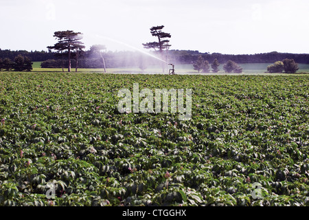 Solanum Tuberosum, Potato - Stockfoto