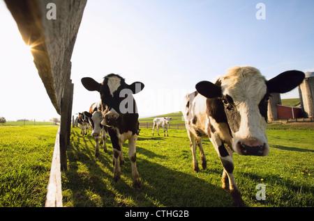 Kühe In einem Feld steht ein Zaun entlang; Dundee, Minnesota, Vereinigte Staaten von Amerika - Stockfoto