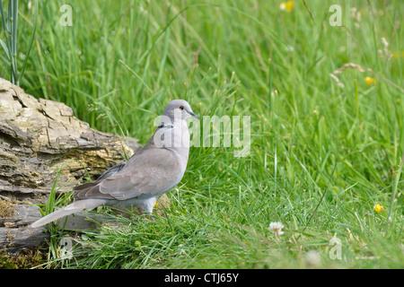 Eurasian collared dove - Kragen-Turteltaube (Streptopelia Decaocto) auf der Suche nach Nahrung in der Wiese - Stockfoto