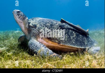 Grüne Schildkröte mit einer großen Remora auf der Schale ruht auf einige seichte Seegras im ägyptischen Roten Meer - Stockfoto