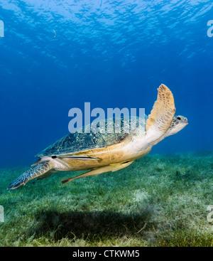 Eine grüne Schildkröte mit 2 Remora angefügt wirft einen Schatten auf dem Boden wie er tief über Seegras im seichten - Stockfoto