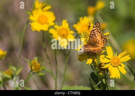 Bunte Fritillary Butterfly, Euptoieta claudia, auf einer Ranch in Südtexas.