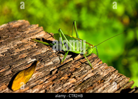 Tettigonia Viridissima weiblichen Beispiel, auf einem Stück verwittertes Holz. - Stockfoto