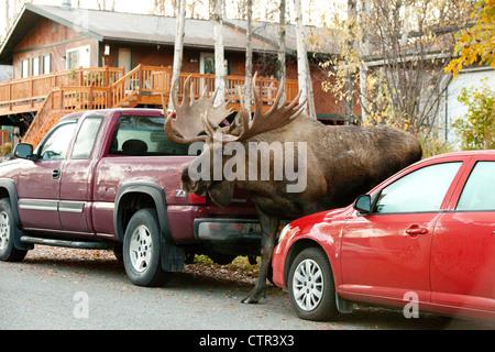 Großen Elchbullen Spaziergänge entlang einer Wohnstraße, Anchorage, Alaska Yunan, Herbst - Stockfoto