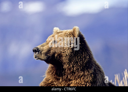 Braunbär ruht auf Klippen über Hallo Bay, Katmai Nationalpark & Preserve, Südwest-Alaska, Herbst - Stockfoto