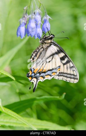 Kanadische Tiger Schwalbenschwanz Schmetterling ernährt sich eine Glocke läuten, Fairbanks, Alaska Interior, Sommer Stockfoto