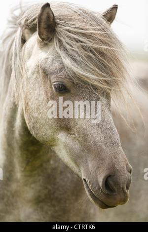 Islandpferd in Hella, Island - Stockfoto