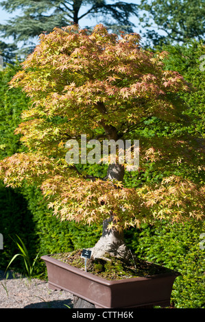japanischer ahorn bonsai baum bl tter stockfoto bild 310667009 alamy. Black Bedroom Furniture Sets. Home Design Ideas