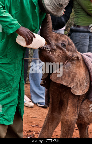 Afrikanischer Elefant Kalb, Loxodonta Africana, trinken Milch aus einer Flasche, Sheldrick Elephant Orphanage, Nairobi, - Stockfoto