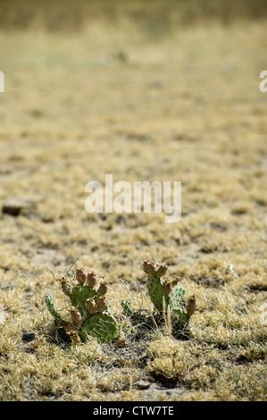 Kakteen haben es geschafft, ein wenig Grün Färbung durch die anhaltende Dürre in Lamar, Colorado zu halten. - Stockfoto
