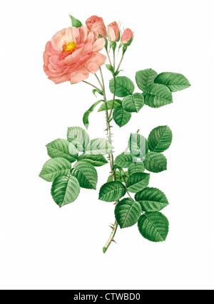 Abbildung von Rosa Damascena Aurora, Variation der Damaszener-Rose, die Rose von Damaskus, die Rose von Kastilien - Stockfoto