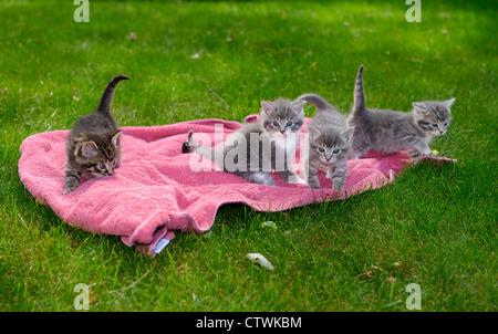 Vier süßen grauen Tabby kitten Wurf - Gehilfen spielen auf einem rosa Decke auf ersten Vorstoß auf grünem Rasen - Stockfoto