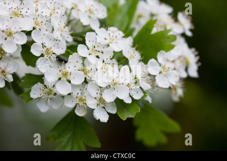 Crataegus Monogyna Blüte. Weißdorn-Blüte im Frühjahr. - Stockfoto