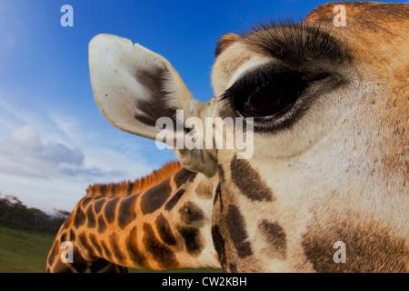 Nahaufnahme der Rothschild-Giraffen (Giraffa Plancius Rothschildi) Auge. Stockfoto