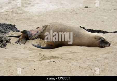 Verletzte Australische Seelöwe (Neophoca cinerea), Kangaroo Island, South Australia. - Stockfoto
