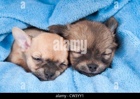 Chihuahua. Zwei Welpen schlafen auf einer blauen Decke - Stockfoto