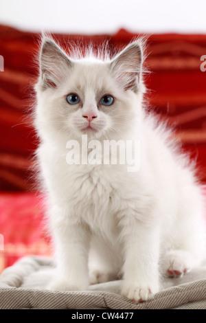 Ragdoll Katze, Kätzchen, die auf einem Kissen sitzen - Stockfoto