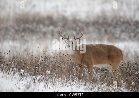 Weißwedelhirsche Buck in der Brunft, Western Montana - Stockfoto