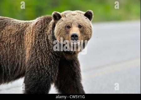 Ein weiblicher Grizzly Bear-Porträt - Stockfoto