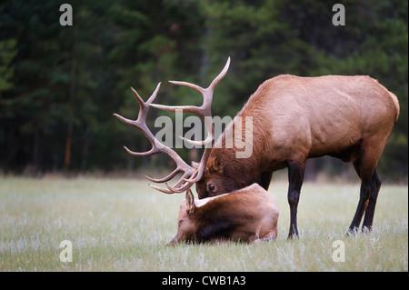 Ein Stier Elche (Cervus Elaphus) prüft auf eine Kuh in seinem Harem um festzustellen, ob sie in der Brunst ist. - Stockfoto