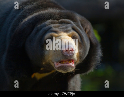 MALAYAN SUN BEAR (Helarctos Malayanus) Thailand. In Gefangenschaft - Stockfoto