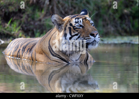 Bengal-Tiger (Panthera Tigris Tigris) liegend mit Spiegelbild im Wasser-Teich, Ranthambhore National Park, Rajasthan, - Stockfoto