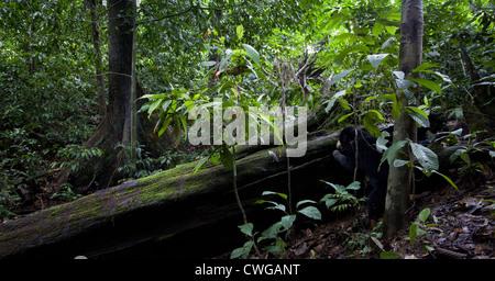 Sun Bear, Helarctos Malayanus, Bornean Sun Bear Conservation Centre, Sabah, Malaysia - Stockfoto