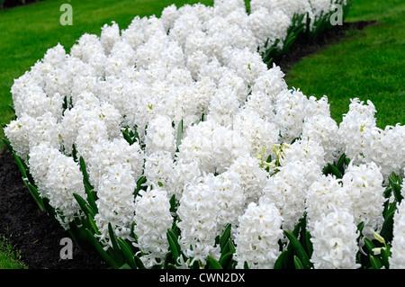 Hyazinthe Hyacinthus Orientalis Carnegie weiße Blume Blumen Blüte ...
