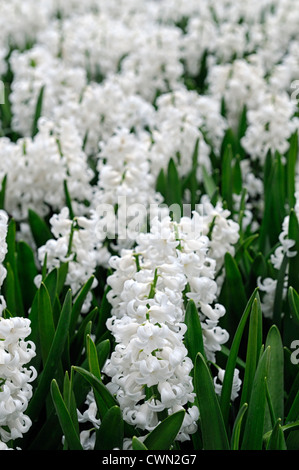 Hyazinthe Hyacinthus Orientalis l\'innocence weiße Blume Blumen Blüte ...