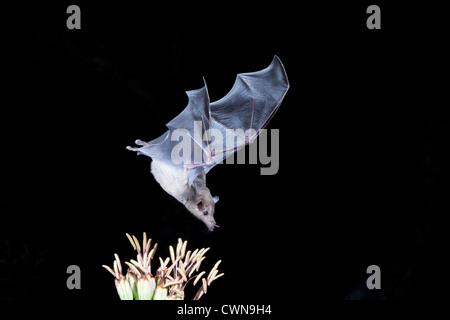 Nektar Fütterungsfledermaus, die bedrohte Lesser Langnasenfledermaus, Leptonycteris yerbabuenae, Fütterung auf Nektar in der Nacht, in Arizona.