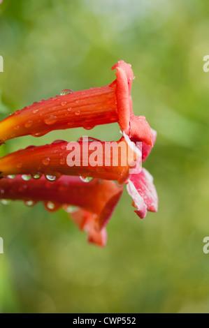 Tautropfen auf Trompete Ranke Blumen - Stockfoto
