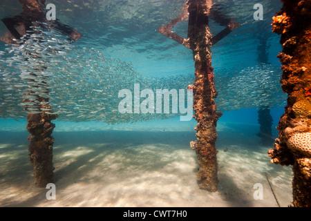 Eine Schule der Silverside Fische Zuflucht unter einem seichten Wasser künstlichen Steg im Roten Meer - Stockfoto