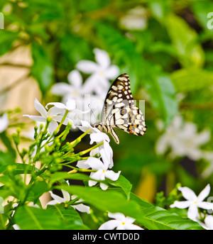 Papilio Demoleus Schmetterling / Butterfly der Kalk. Kansabel, Chhattisgarh, Indien. - Stockfoto