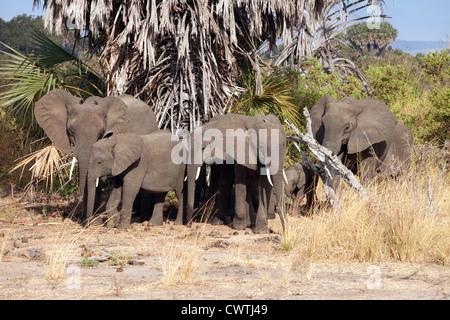 Eine Herde von afrikanischen Elefanten im Busch, das Selous Game reserve Tansania Afrika - Stockfoto