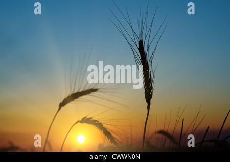 Goldener Sonnenuntergang über Erntefeld - Stockfoto