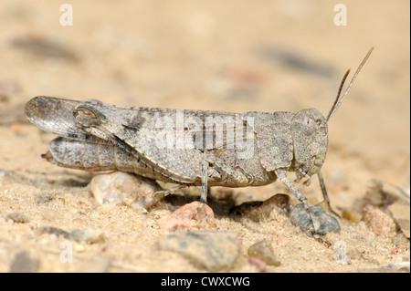 Die weiblichen Heuschrecke Oedipoda Caerulescens auf dem sand - Stockfoto