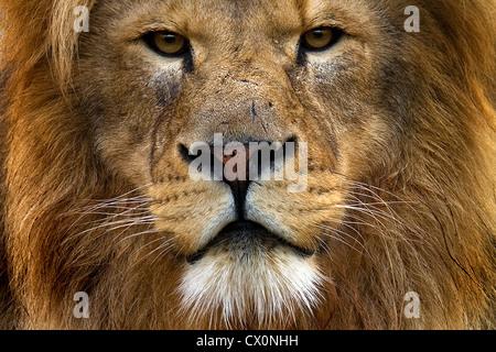 Porträt von männlichen Löwen Gesicht Nahaufnahme Stockfoto