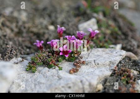 Lila Steinbrech (Saxifraga Oppositifolia) in der arktischen Tundra in Hornsund, Svalbard, Spitzbergen, Norwegen - Stockfoto