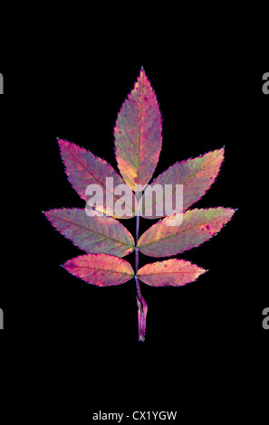 Eine Compound-Blatt der stachelige Rose (Rosa Acicularis) verfärbt sich im Herbst, Detail vor einem schwarzen Hintergrund. - Stockfoto