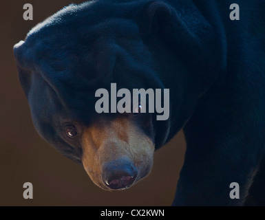 Sun Bear/Honey Bear (Helarctos Malayanus) - Stockfoto
