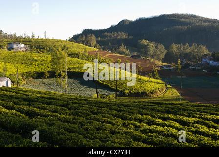 Elk201-5445 Indien, Tamil Nadu, Udhagamandalam (Ooty), Tee-Plantage - Stockfoto