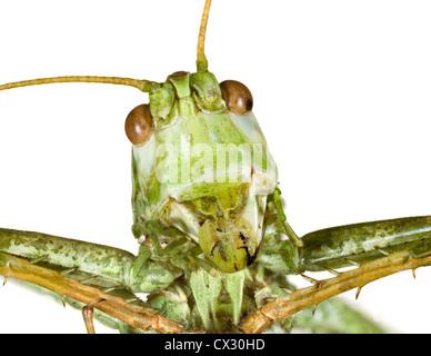 Extreme Makro-Shooting der Bush-Cricket-Kopf - Stockfoto