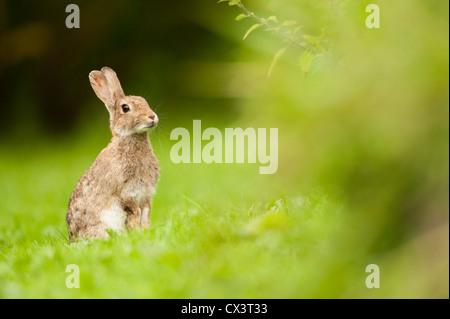 Europäischen Kaninchen (Oryctolagus Cuniculus) A Rabbit starrt in einem Busch in einem Feld in Schottland. - Stockfoto